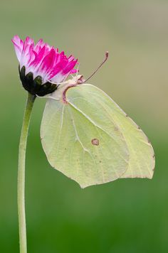 The Common Brimstone (Gonepteryx rhamni)  is a butterfly of the Pieridae family. It lives in Europe, North Africa and Asia; across much of its range, it is the only species of its genus, and is therefore simply known locally as the brimstone.