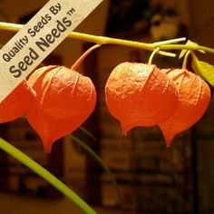 """50 Seeds, Chinese Lantern (Physalis alkekengi) Seeds By Seed Needs by Seed Needs: Flowers. $1.65. Prefers an area of full sunlight to partial shade. These plants grow to a mature height of 24 inches tall. Quality Chinese Lantern seeds packaged by Seed Needs. Easy planting instructions along with a colorful picture printed on each """"Seed Needs"""" packet!. Perennials that should return yearly as long as the roots are kept in tact. Chinese Lantern flower seed produces an ornamental ..."""