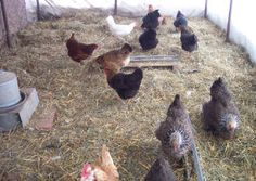 chicken care- some winter tips