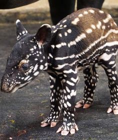two days old baby tapir Baby Exotic Animals, Unusual Animals, Rare Animals, Exotic Pets, Cute Baby Animals, Animals Beautiful, Animals And Pets, Funny Animals, Animal Kingdom