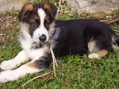 German Shepherd Puppies For Sale | Tri-Cities, WA #182602 |Tri Color German Shepherd Breeders