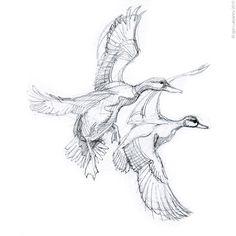 Mallard Duck Sketch - Eenden