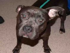 GONE ♡ JENNIFER – A1119545  **HOLD FOR DOH-V**  FEMALE, GRAY, PIT BULL MIX, 2 yrs STRAY – ONHOLDHERE, HOLD FOR DOH-V Reason STRAY Intake condition INJ MINOR Intake Date 07/24/2017, From NY 10302, DueOut Date 07/27/2017,