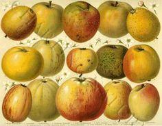 'Apples' giclee print via Charting Nature.