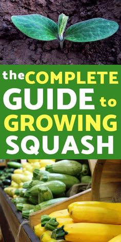 The Ultimate Guide for Growing Squash in Your Garden : Growing squash is one of the easiest and most rewarding crops to grow. Lear everything you need to know about growing squash in your vegetable garden . Covent Garden, Organic Vegetables, Growing Vegetables, Growing Squash, Squash Plant, Squash Varieties, Squash Types, Organic Horticulture, Organic Gardening Tips