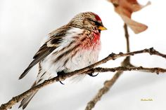 Winter Redpoll by Christina Rollo