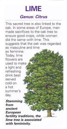 Sacred celtic tree - Lime
