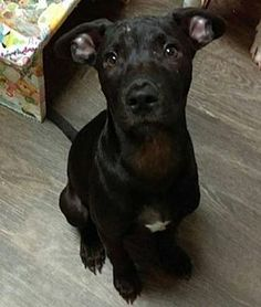 Pictures of Poppy a Pit Bull Terrier for adoption in Dallas, GA who needs a loving home.