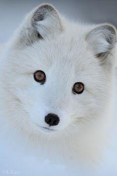 Arctic fox, aka white fox, polar fox, snow fox, native to Arctic regions. Cute Baby Animals, Animals And Pets, Funny Animals, Wild Animals, Beautiful Creatures, Animals Beautiful, Beautiful Eyes, Amazing Eyes, Hello Beautiful