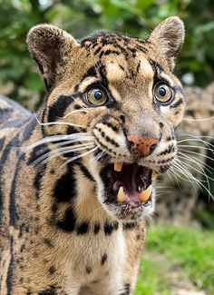 Clouded Leopard by Colin Langford | In Malaysia, the clouded leopard is known as the tree tiger.