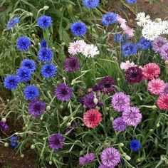 Cornflower (Centaurea Cyanus Polka Dot Mix) - These easy to grow flower seeds are great for beginning gardeners or children's gardens. Bachelor Button Flowers, Bachelor Buttons, Edible Flowers, Cut Flowers, Dried Flowers, Seed Bombs, Dried Flower Arrangements, Wildflower Seeds, Plant Care