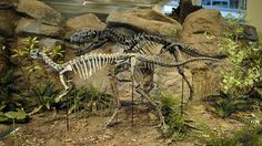 CERATOSAURUS | In the Jurrasic period area, lizard Ceratosaurus appears to be trying ...
