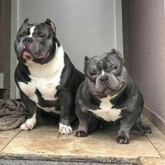 "people tell me, ""they look so mean!"" love must truly be in the eye of the beholder cause I can't see mean and my vision is just fine. American Bully Pocket, Pocket Bully, American Bullies, Bully Pitbull, Gotti Pitbull, Big Dogs, Cute Dogs, Animals And Pets, Cute Animals"