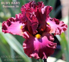 Iris RUBY BABY