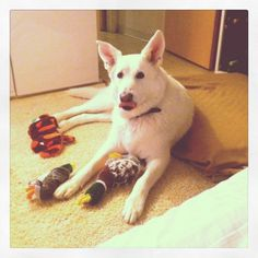 white german shepherd and toys :)