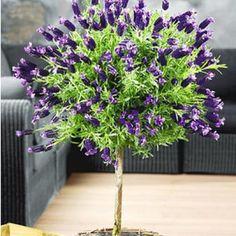 Lavendelstämmchen mit Krone Lavandula für Balkon & Terrasse