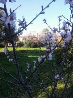 the almond tree. Almond, Bloom, Garden, Flowers, Plants, House, Garten, Home, Lawn And Garden