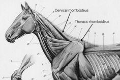 Equine rhomboideus muscle