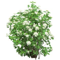 Bush-with-White-Flowers.png
