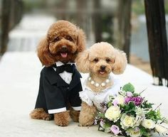 Have you ever seen such a happy couple? This bride and groom poodle puppy couple shines bright on their wedding day with the groom's tux and the bride's white dress with matching pearls. Surely a day for everyone to remember. Animals And Pets, Baby Animals, Cute Animals, Animals Photos, Funny Animals, Dog Marriage, Funny Marriage, Happy Marriage, I Love Dogs
