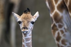 What We Talk About When We Talk About This Tiny Baby Giraffe
