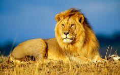 leeuw | Fieggentrio: Liefde tussen een leeuw en een vrouw. (video)