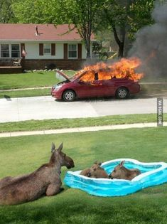Just some moose in a kiddie pool watching a car on fire.