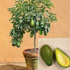 Дерево авокадо, его плоды и семя