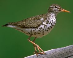 Spotted Sandpiper (Actitis macularius) - Nonbreeding and juvenile birds have no spots.