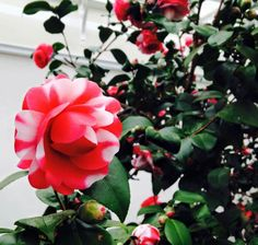 Camelia collection at Chiswick House