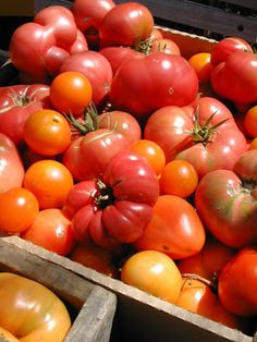 Garden Variety: Tomato blight prevention tips - Mid-Atlantic gardening: Tips and pictures on flowers, vegetables, public gardens, composting and farmers' markets - baltimoresun.com