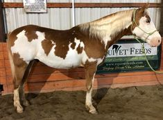 Paint horse Pinto Chestnut and white