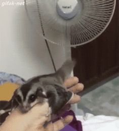 Sugar Glider Practices Flying in Front of Fan Too cute to miss this gif !! ☞ Watch this Video too! https://www.youtube.com/watch?v=pwFzsbj9xRc #cute #animal .