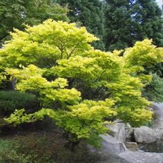 Gardening In The City Buy Golden Full Moon Japanese Maple - Acer shirasawanum 'Aureum' - 3 Gallon - Japanese Maple Trees Japanese Garden, Backyard Garden, Landscape Trees, Conifers Garden, Backyard Landscaping, Urban Garden, Japanese Maple Tree, Garden Design, Buy Plants