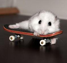 Mad dwarf hamster on a mini skateboard ! Baby Animals Super Cute, Cute Little Animals, Cute Funny Animals, Funny Animal Pictures, Robo Dwarf Hamsters, Funny Hamsters, Hamster Pics, Baby Hamster, Cute Rats