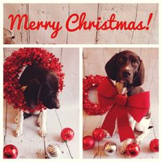 Merry Christmas with Nola the GSP