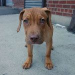#2014sacrificiocero #LOLATQM  Second Chance Rescue #NYC Dogs  NOLA is a 5 mos old visla mix who ended up as a stray at the Brooklyn ACC. She was so terrified there that she hid in the back of her kennel shaking. She is now spayed, chipped, vaccinated & ready for her forever home! She is now in a foster home in Brooklyn and has settled in nicely, liking both people and dogs. You can apply to adopt this beauty now at www.nycsecondchancerescue.org! - via @vai3333