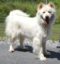 8/29/15 Meet Sasha, a Petfinder adoptable Samoyed Dog | Clearfield, PA | Sasha came to our shelter as an owner surrender because her previous owner is moving and couldn't...