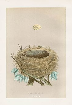 Whitethroat US $45 F.O. Morris Nest & Egg Prints 1892