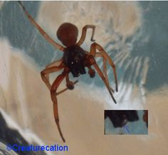 Some Of The Spiders That Get Mistaken For A Brown Recluse Spider- Fourth Spider Body Shape