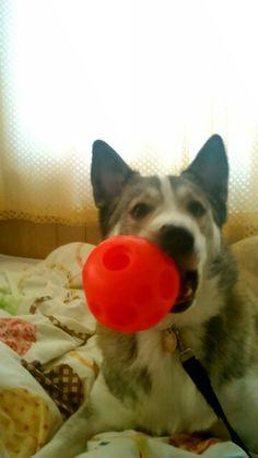 Jango loves his treat ball