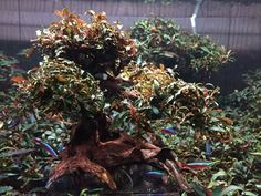Buce tree Freshwater Plants, Freshwater Aquarium, Aquarium Driftwood, Aquarium Landscape, Green Lettuce, Bonsai Art, Garden Terrarium, Planted Aquarium, Garden Trees