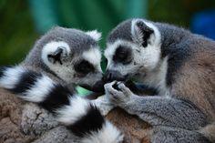 lemur love close up animal