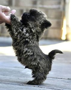 Cairn pup