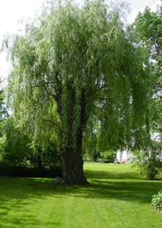 Weeping willow tree - we planted one in the front side yard when we first moved to our country home.