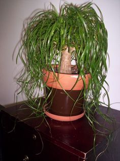 Tree House Plants | House Plants: What kind of tree was I given?, pony tail plant ...