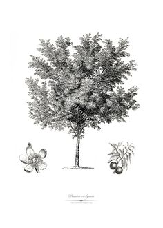 Black and White Botanical Art Printable Wall Art of The Common Peach Tree, Instant Download | Home Decor  #digitalprint #printable #wall #art #vintage #botanical #illustration Botanical Art, Botanical Illustration, Peach Trees, Frame It, Printable Wall Art, Digital Prints, Black And White, Plants, Vintage