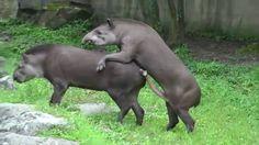 Stier und Tapir Paarung