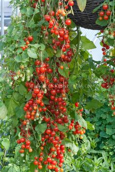 "Cherry tomatoes 'Cherry Cascade' hanging from pot container basket. Image from gardenphotos.com. Always use a potting soil with ""moisture control"" for garden veggies in planters."