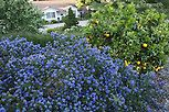 Blue flowering native plant shrub California lilac (Ceanothus 'Julia Phelps') with orange fruit tree on hillside in drought tolerant Southern California garden